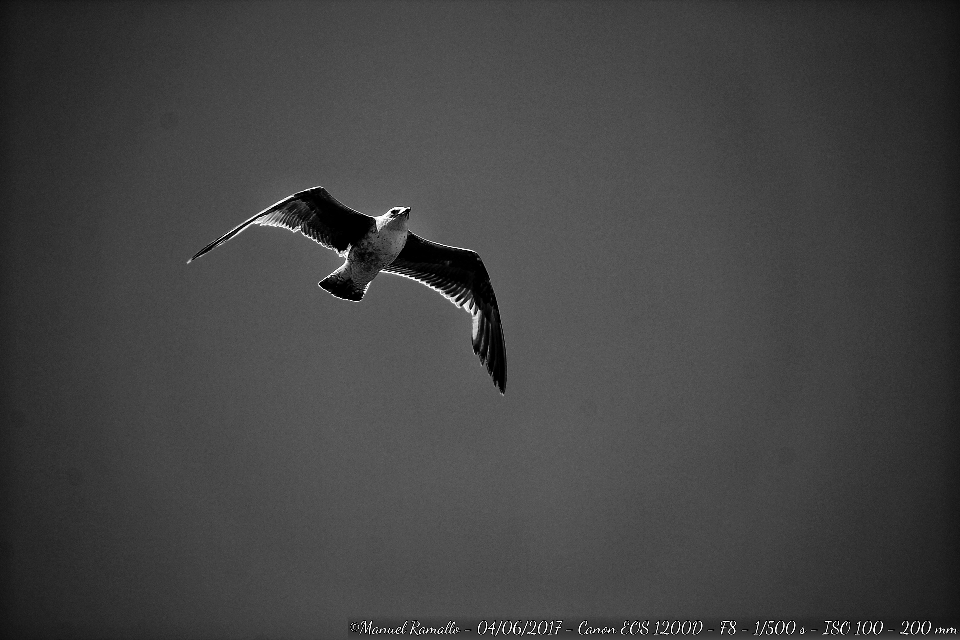gaviota-blanco-y-negro